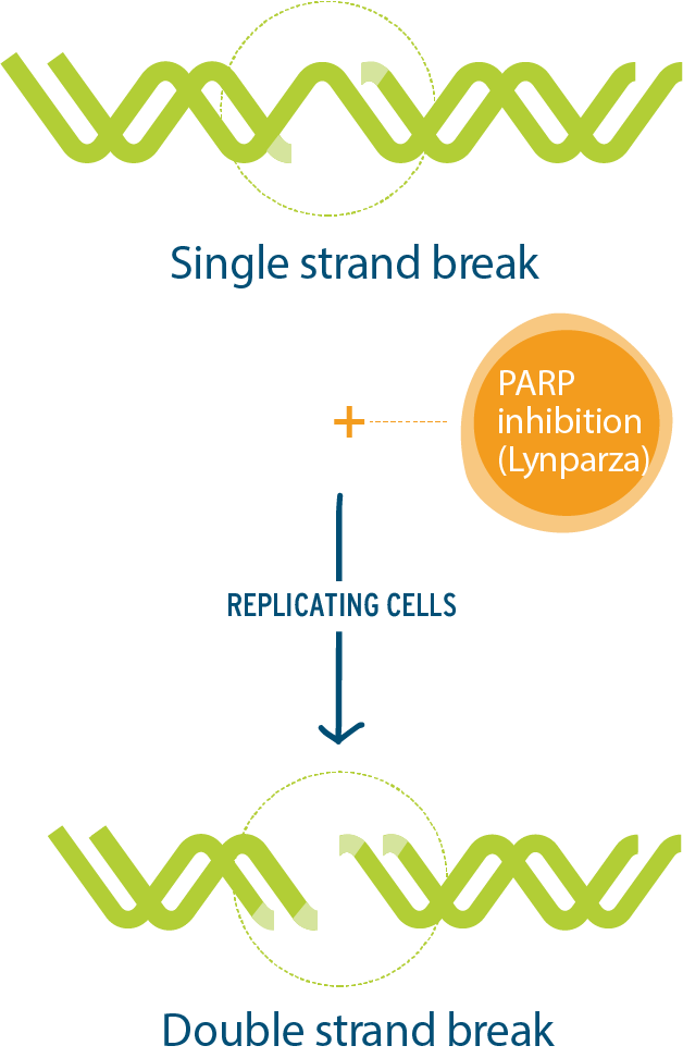 Image showing the Inhibition of the PARP function